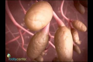 Sự phát triển của thai nhi tuần 21 đến tuần 27