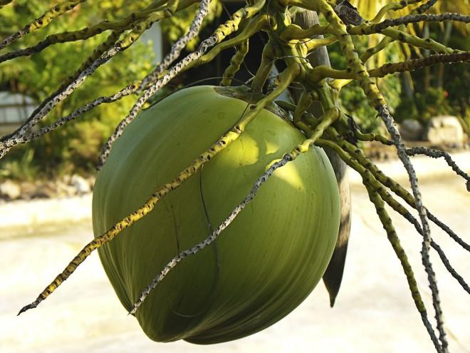 Giấm từ nước dừa có vị chua thanh và rất thơm mùi nước dừa